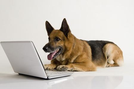 German Shepherd dog using a laptop Stock Photo - 10245713