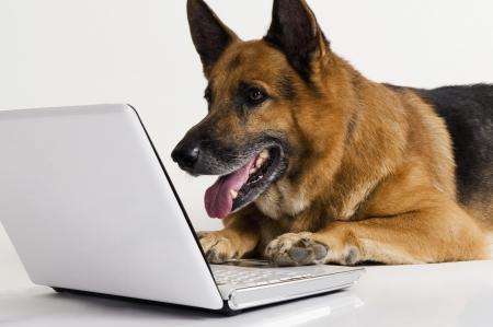 Duitse herdershond behulp van een laptop Stockfoto