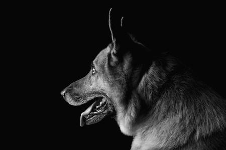 ジャーマン ・ シェパード犬のクローズ アップ 写真素材 - 10245707