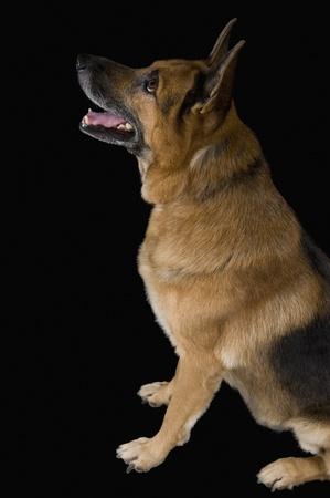 ジャーマン ・ シェパード犬探しています。