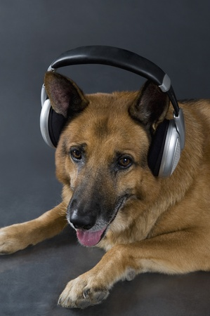 German Shepherd dog wearing headphones photo