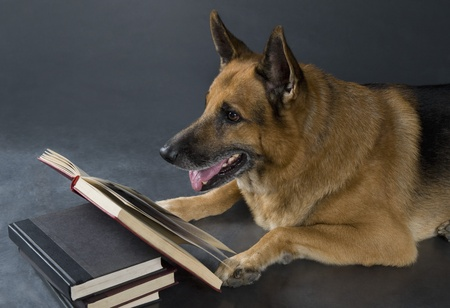 German Shepherd dog reading a book Stock Photo