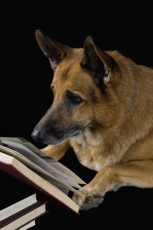 German Shepherd dog reading a book Stock Photo - 10245739