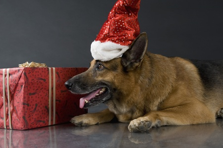 German Shepherd dog wearing a Santa hat photo