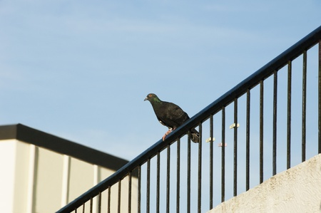 andhra: Pigeon on the railing of a house, Tirupati, Andhra Pradesh, India