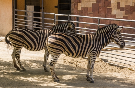 chapman's: Chapmans zebras (Equus quagga chapmani) in a zoo, Barcelona Zoo, Barcelona, Catalonia, Spain