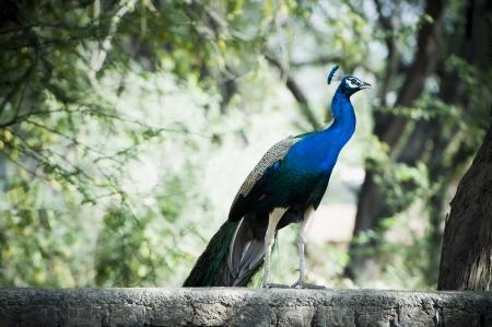 haryana: Peacock, Sohna, Haryana, India