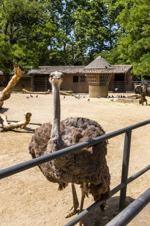 ratite: Ostrich (Struthio camelus) in a zoo, Barcelona Zoo, Barcelona, Catalonia, Spain