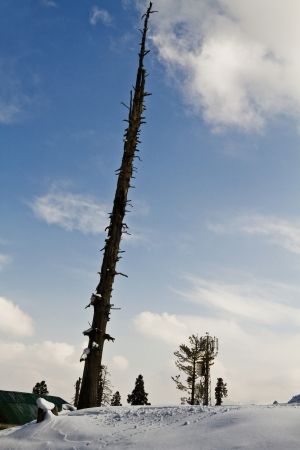 Dead tree on a snow covered hill, Kashmir, Jammu And Kashmir, India