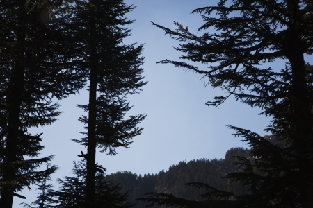 himachal pradesh: Trees in a forest, Manali, Himachal Pradesh, India