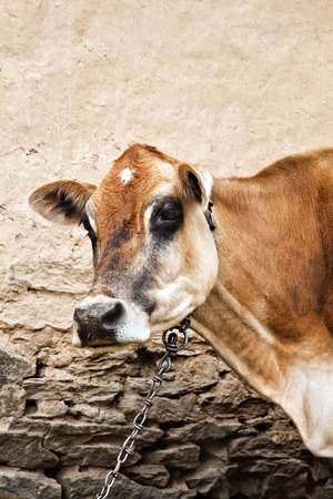 tiedup: Cattle tied-up with a chain, Manali, Himachal Pradesh, India Stock Photo