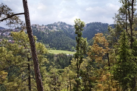 himachal pradesh: Trees in a forest, Shimla, Himachal Pradesh, India