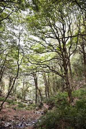 Trees in a forest, Shimla, Himachal Pradesh, India