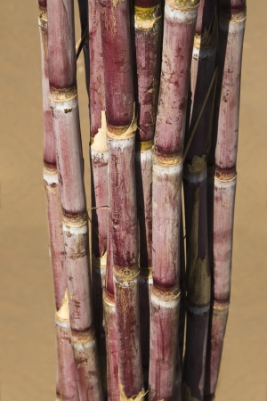 Close-up of a bundle of sugar canes, Pushkar, Ajmer, Rajasthan, India photo