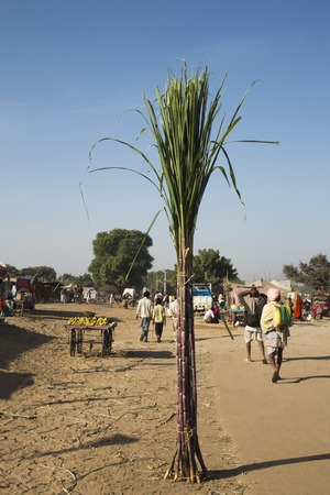 Bundle of sugar canes in a fair, Pushkar, Ajmer, Rajasthan, India