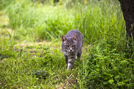 Bobcat zu Fuß in einem Wald, Venedig, Venetien, Italien Standard-Bild - 33377612