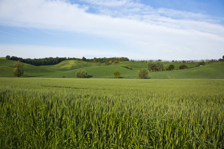 non cultivated land: Crop in a field, Siena, Siena Province, Tuscany, Italy