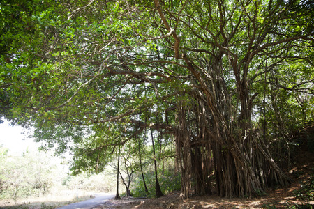 Aerial roots of trees, Goa, India