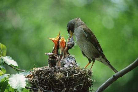 birds nest: Aves