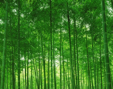 bamboo forest: Nature scene