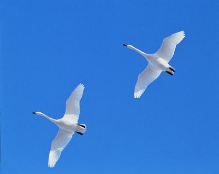 webfoot: Geese