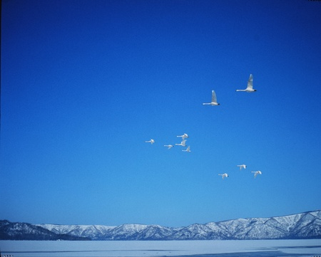 clearness: Geese