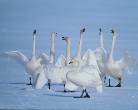 Geese Stock Photo - 11874212