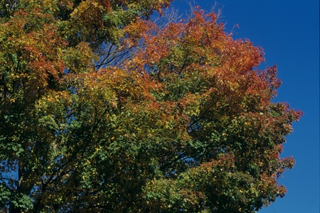 trees photography: Maple leaves