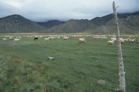 herdsman: Qinghai Province,China