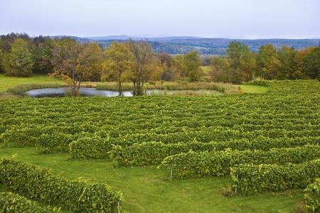 canada agriculture: Vineyard in Sutton Quebec Canada