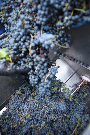 dumping: Stemmer crusher crushing grapes at a winery