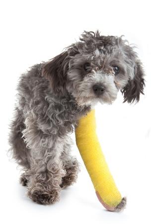 キャストで骨折した足を持つ犬