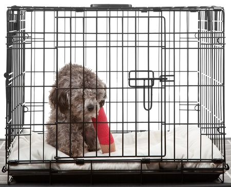 lame: Caged dog with broken leg in a cast