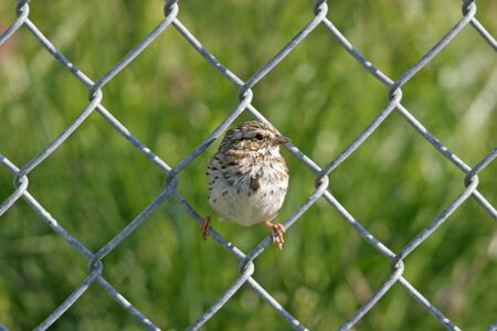 Baby Sparrow on fence in Chesterfield, Virginia.