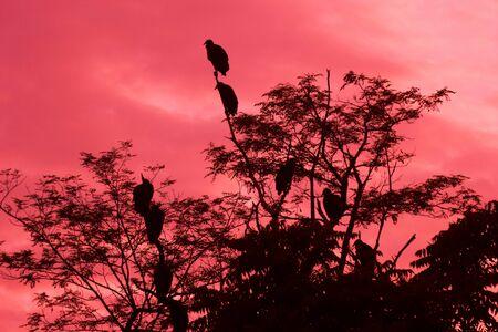 American Black Vultures at dawn in trees near Dutch Gap power station , Chester,Virginia