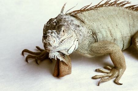 An iguana crawling Stock Photo - 11609783