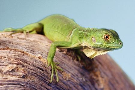 A green lizard crawling on a branch Stock Photo - 11609788
