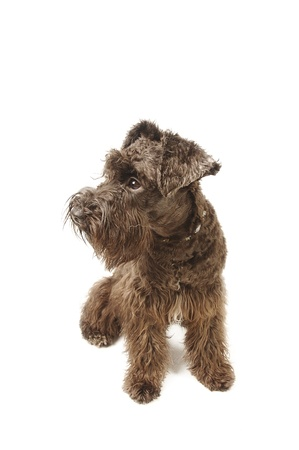 A brown Schnauzer sitting down Stock Photo - 11609789