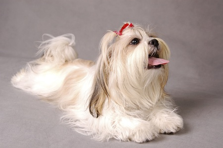 A white Shih-tzu with red ribbons sitting down with its tongue out Stock Photo - 11609790