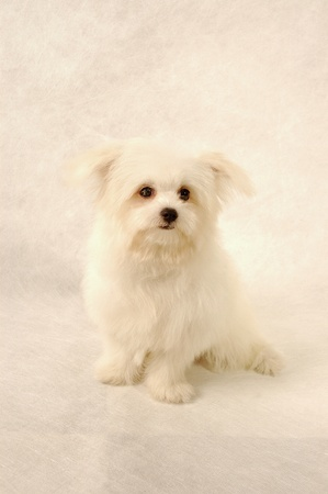 A white Maltese sitting down Stock Photo - 11609792