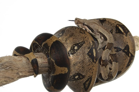 A snake coiling up a branch Stock Photo - 11609794