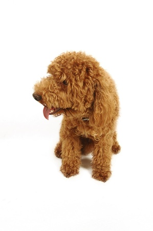 A brown Poodle sitting down with its tongue out Stock Photo - 11609795