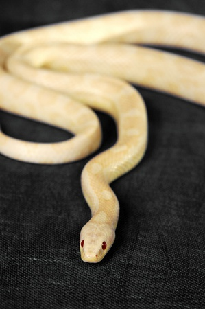 A white snake with red eyes gliding on the floor Stock Photo - 11609801