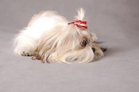 A Shih Tzu with red ribbons sleeping with its hair covering its face Stock Photo - 11609813