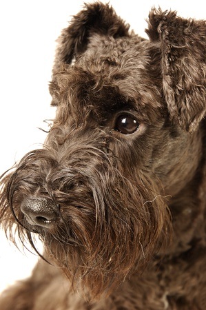 An up-close picture of a Schnauzer  Stock Photo - 11609825