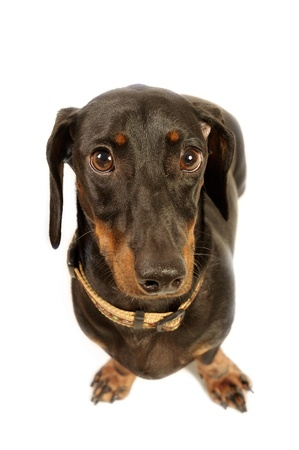 An up-close picture of a Dachshund with collar looking at the camera Stock Photo - 11609826