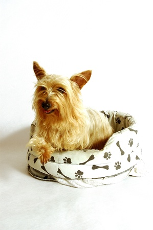 A Silky Terrier sitting on a dog's couch Stock Photo - 11606302
