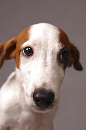 An up-close picture of a Jack Russell Terrier Stock Photo - 11609834