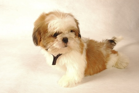 A Shih Tzu with black collar sitting down Stock Photo - 11609840