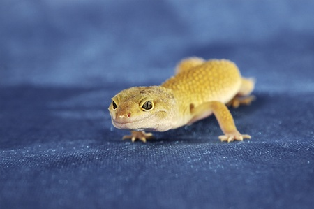 A yelow lizard crawling on a blue floor Stock Photo - 11606292